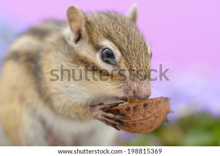 Chipmunk eating a walnut - stock photo