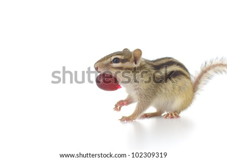Chipmunk eating red grape on white background - stock photo