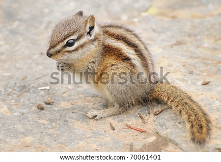 Chipmunk from Canada - stock photo