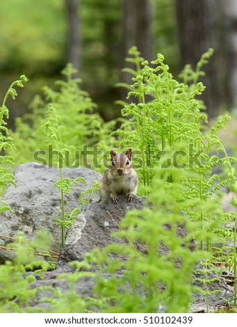 Chipmunk in the Spring