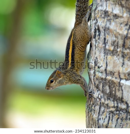 Chipmunk in the wild on the island of Sri Lanka