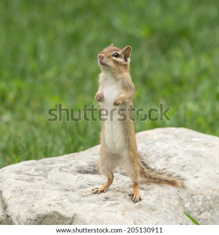 Chipmunk isolated standing on a rock - stock photo