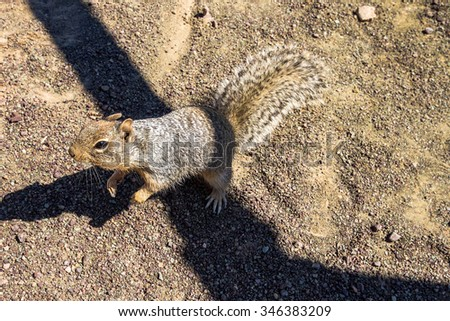 Chipmunk looking for food inside Grand Canyon - stock photo