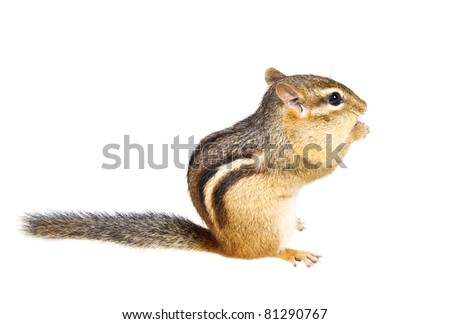 Chipmunk on a white background - stock photo