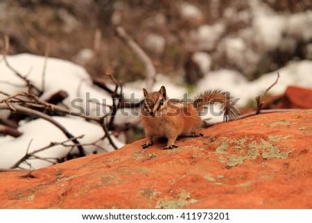 Chipmunk on Angel's Landing in Zion National Park, Utah - stock photo