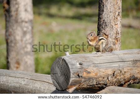 Chipmunk on Log at Redfish Lake in Stanley, Idaho - stock photo