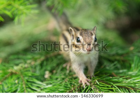 Chipmunk on Pine Tree