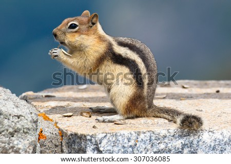 Chipmunk on the Beartooth Highway, Wyoming, USA