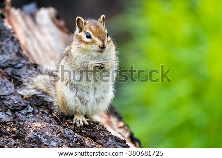 Chipmunk on the old tree. Summer.  - stock photo
