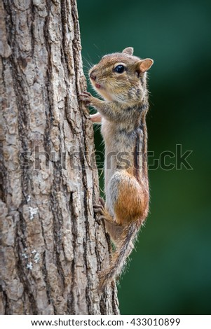 Chipmunk on tree trunk with puffy cheeks - stock photo