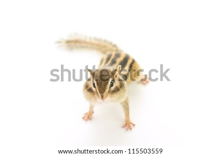 Chipmunk on white background