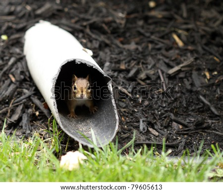 Chipmunk peeking out of drain pipe. - stock photo