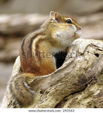 Chipmunk perched on a log eating a peanut.