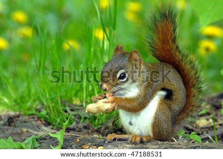 Chipmunk seating and eating a peanut - stock photo