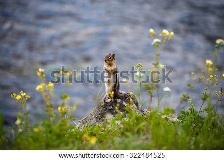 Chipmunk standing by the Madison River in Yellowstone. - stock photo
