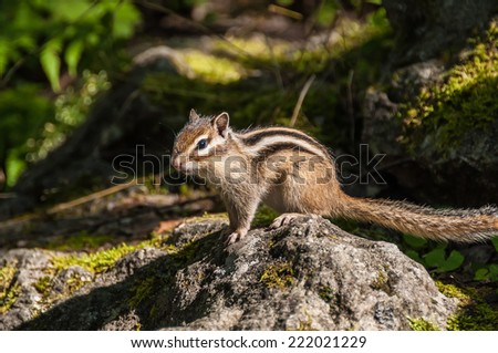 Chipmunk stands on a stone in the sunshine on a blurred background of stones - stock photo