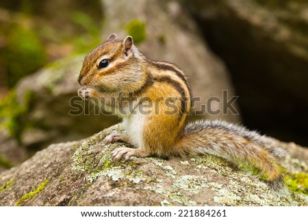 Chipmunk (Tamias Sibiricus) in the wildlife sitting on the stone and eating something. Photo taken in the Altai region (Russia).
