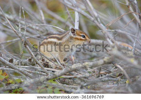 Chipmunk. The northern part of Sakhalin Island, Russia. - stock photo