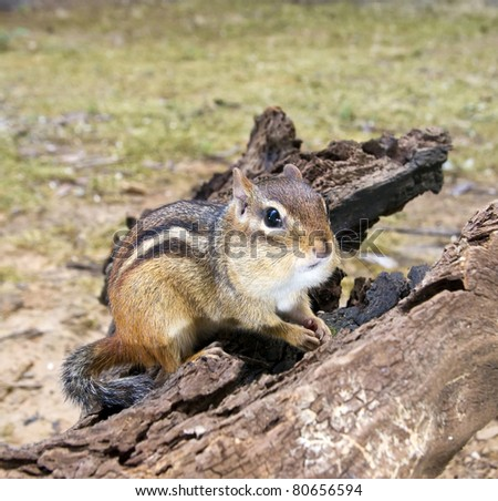 Chipmunk with fat cheeks on driftwood - stock photo