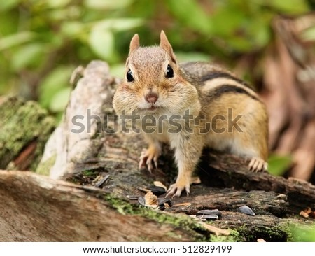 Chipmunk with her face full of stored food