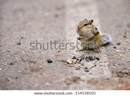 Chipmunk with his cheeks full of sunflower seeds - stock photo