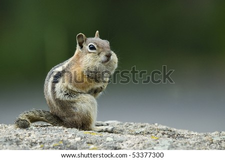 Chipmunk with mouth full