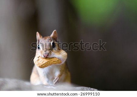 Chipmunk with peanut in his cheeks - stock photo