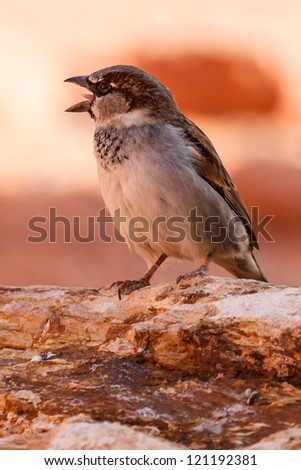 Chirping Mojave Desert Sparrow Bird In Valley Of Fire State Park Nevada