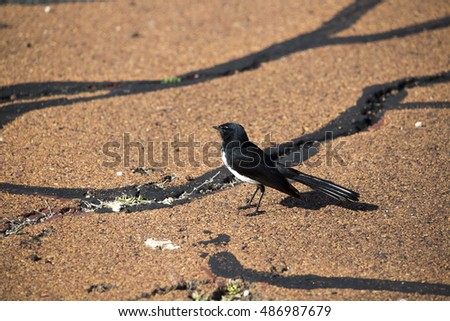 Chirpy little juvenile  Australian willie wagtail Rhipidura leucophrys in smart black and white plumage stands on the cycleway looking for insects to devour on a cloudy spring afternoon.