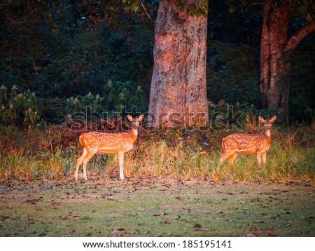 Chital (Axis axis) at dusk in Bardia National Park, Nepal - stock photo