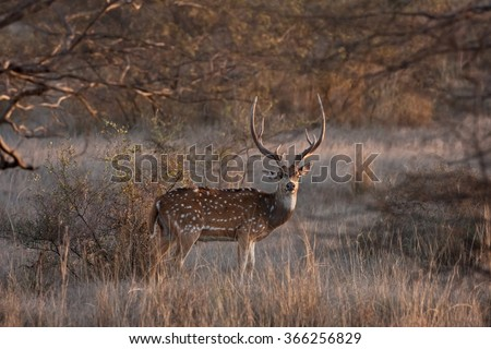 chital,  cheetal, spotted deer, Axis axis - stock photo