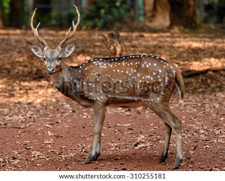 Chital or cheetal (Axis axis),[2] also known as chital deer, spotted deer or axis deer, is a deer which commonly inhabits wooded regions of India, Sri Lanka, Nepal, Bangladesh, Bhutan. - stock photo