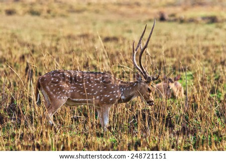 Chital or cheetal deer (Axis axis), also known as spotted deer or axis deer in the Bandhavgarh National Park in India. Bandhavgarh is located in Madhya Pradesh. - stock photo