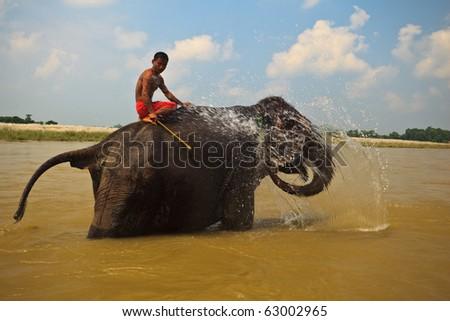 CHITWAN NATIONAL PARK, SAURAHA, NEPAL- CIRCA SEPTEMBER 2009: Unidentified man rides protected Asian Elephant (Proboscidea Elephas maximus) in river circa September 2009 Chitwan National Park, Nepal. - stock photo