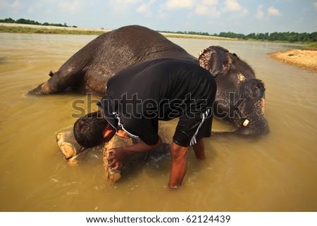 CHITWAN NATIONAL PARK, SAURAHA, NEPAL- CIRCA SEPTEMBER 2009: Unidentified man scrubbs Asian Elephant's (Proboscidea Elephas maximus) feet circa  September 2009 in Chitwan National Park, Nepal. - stock photo