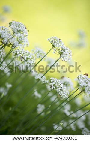 Chive flowers in shallow depth of field