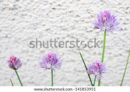 chive flowers on the wall - stock photo