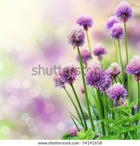 Chive herb flowers on beautiful bokeh background. Very shallow DOF. - stock photo