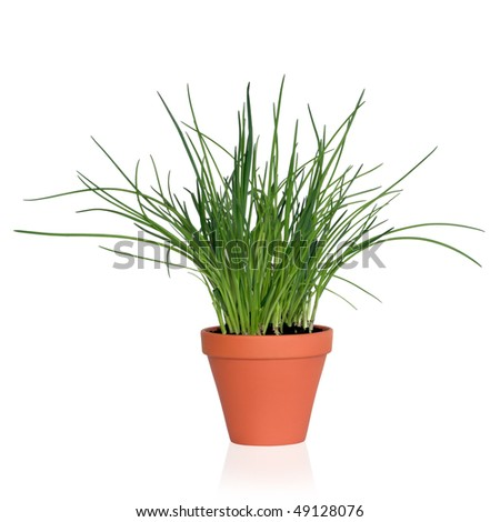 Chive herb plant growing in a terracotta pot, isolated, over white background.