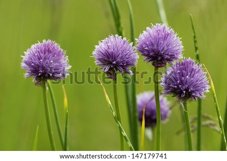Chives - Allium schoenoprasum - stock photo