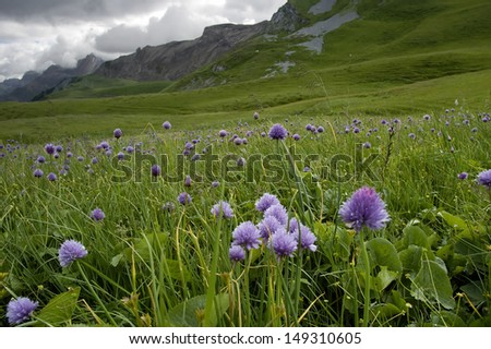 Chives - Allium schoenoprasum Growing in Hahnenmoospass, Switzerland - stock photo