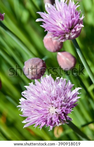 Chives blossoming in late spring - closeup on purple flowers - stock photo