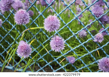 chives,chives flowers,garden,fence,chives in the garden,chives fence,near house,nature,bloom,organic, - stock photo