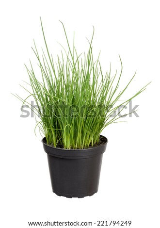Chives plant in pot - stock photo