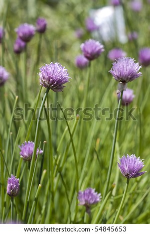 chives with purple blooms - stock photo