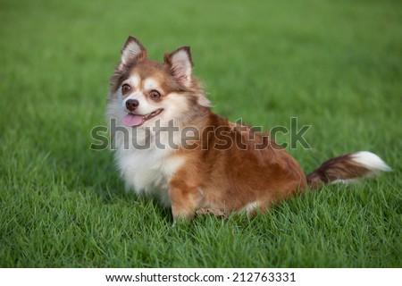 Chiwawa dog  - stock photo