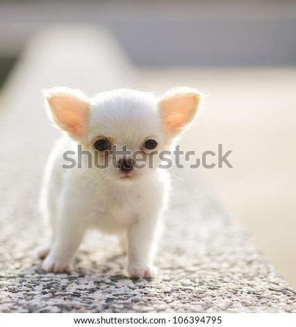 chiwawa white puppy - stock photo