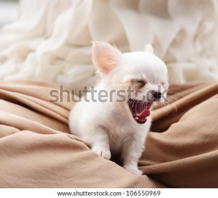 chiwawa white puppy dog pet - stock photo