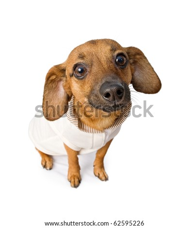 Chiweenie mixed breed dog wearing a pink and brown outfit. Isolated on white.
