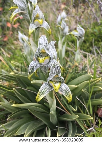 Chloraea magellanica orchid in Torres del Paine National Park, Chile - stock photo